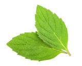 mint melissa leaves isolated