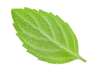 back side of leaf mint isolated