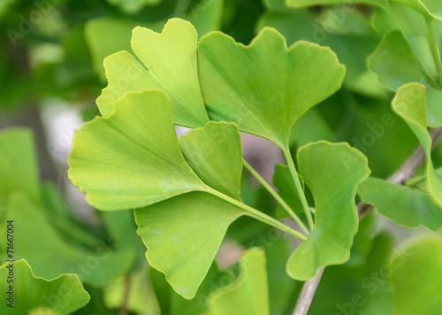 Leinwanddruck Bild ginkgo biloba leaves