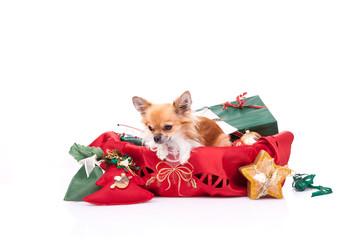 Chihuahua Christmas portrait