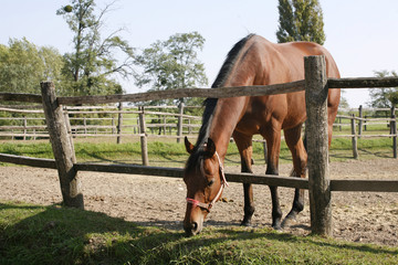 Purebred bay horse stands in summer corral