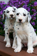 Two Dalmatian puppies on bench
