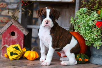 Boxer puppy sitting with Autumn decorations