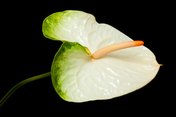 white and green Anthurium