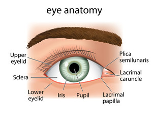 Anatomy close and a human eye