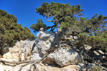Дерево в скале