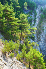 Trees pine of cliff rocks