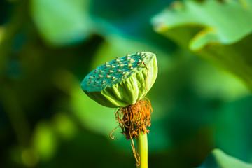 Fruit of the lotus