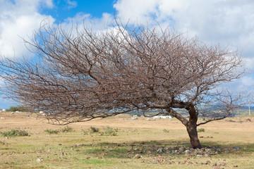 """arbre """"en drapeau"""", plaine Mapou, île Rodrigues"""