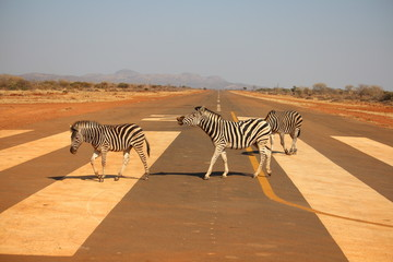Zebra Crosssing