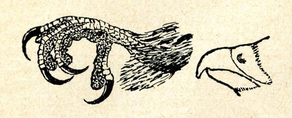 Bird of prey - feet and beak