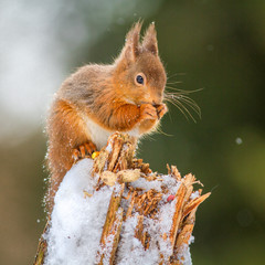 Red Squirrel feeding in English forest