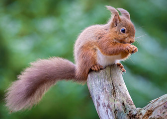 Red Squirrel sitting on log