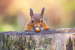 Red Squirrel can't believe his luck - 71681452