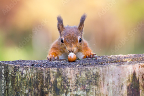Spoed canvasdoek 2cm dik Eekhoorn Red Squirrel can't believe his luck