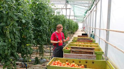 Freshly Harvested Tomato in Farmer's Hands
