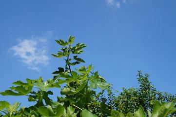 イチジクの木