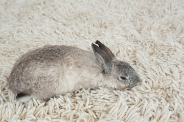 Rabbit sleeping on the floor