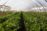 Culture in a greenhouse strawberry