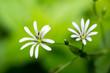 canvas print picture - Stellaria nemorum