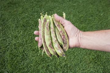 Freshly picked Borlotti Beans