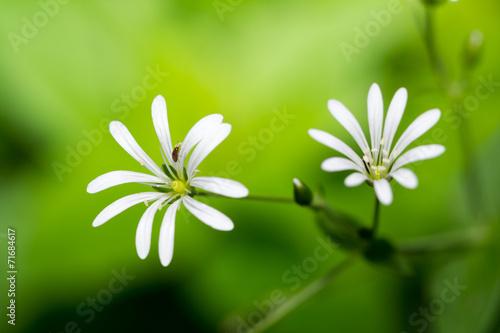 canvas print picture Stellaria nemorum