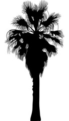 high black palm tree isolated on white