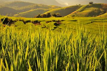 Rice Paddy Fields Landscape