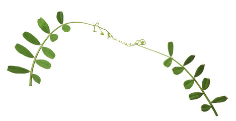green pea tendrils on white