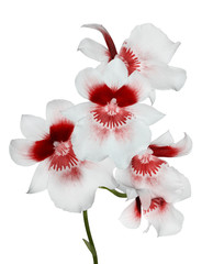 five white orchid flowers with red center