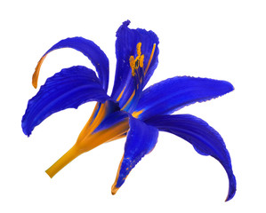 blue and yellow lily bloom isolated on white