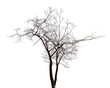 isolated winter twin bare tree