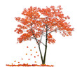 bright red isolated maple and falling leaves