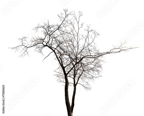 isolated winter twin bare tree © Alexander Potapov