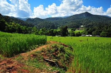 Rice Paddy Fields in Green Season