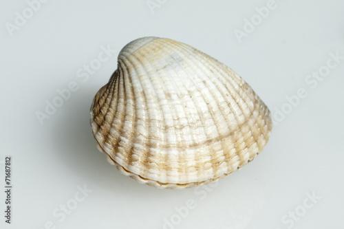 Herzmuschel, Cerastoderma, edule, - 71687812