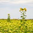 canvas print picture - Sonnenblumen am Sonnenblumenfeld