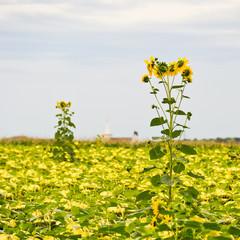 Sonnenblumen am Sonnenblumenfeld