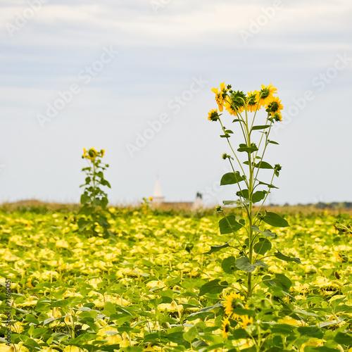 canvas print picture Sonnenblumen am Sonnenblumenfeld