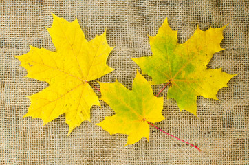 Maple leaves in fall colors