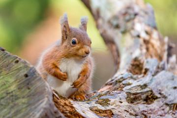 Red Squirrel sitting in Autumn , England. UK