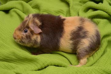 junges brindle US-Teddy Meerschweinchen in schoko-creme