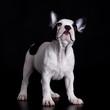Puppy of french bulldog on black background