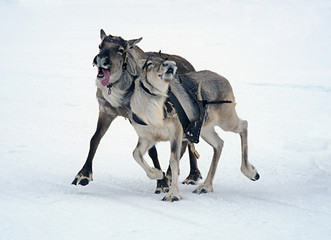 Два северных оленя.