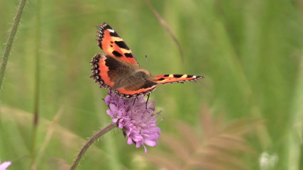 butterfy Small Tortoiseshell on pink flower in summer garden