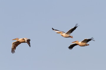 great pelicans flying in formation