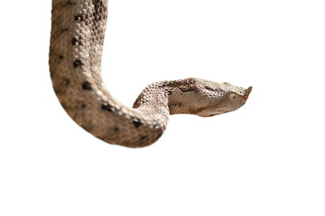 isolated nose horned viper