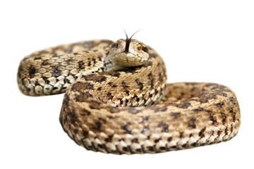 isolated venomous snake ready to attack