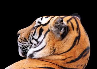 tiger head on dark background