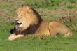 A Kalahari lion, Panthera leo, in the Addo Elephant National Par